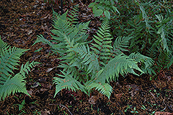 Dixie Wood Fern (Dryopteris x australis) at Plants Unlimited