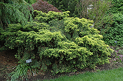 Saybrook Gold Juniper (Juniperus x media 'Saybrook Gold') at Plants Unlimited