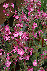 Rolly's Favorite Campion (Silene 'Rolly's Favorite') at Plants Unlimited