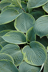 Flavocircinalis Hosta (Hosta tokudama 'Flavocircinalis') at Plants Unlimited
