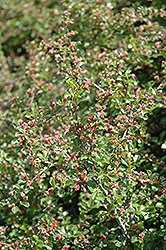 Cranberry Cotoneaster (Cotoneaster apiculatus) at Plants Unlimited