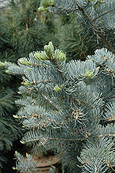 Candicans White Fir (Abies concolor 'Candicans') at Plants Unlimited