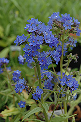 Blue Angel Summer Forget-Me-Not (Anchusa capensis 'Blue Angel') at Plants Unlimited