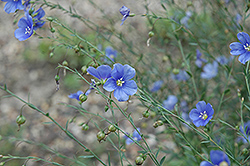 Sapphire Perennial Flax (Linum perenne 'Sapphire') at Plants Unlimited