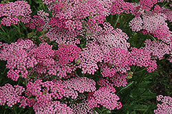 Pink Grapefruit Yarrow (Achillea 'Pink Grapefruit') at Plants Unlimited