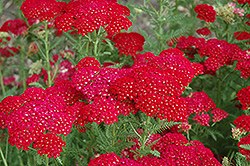 Pomegranate Yarrow (Achillea millefolium 'Pomegranate') at Plants Unlimited