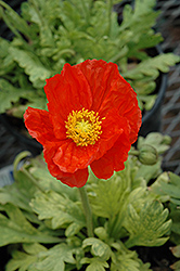 Garden Gnome Poppy (Papaver nudicaule 'Garden Gnome') at Plants Unlimited