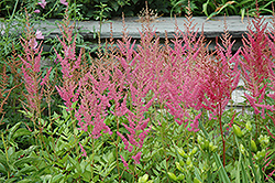 Visions in Pink Chinese Astilbe (Astilbe chinensis 'Visions in Pink') at Plants Unlimited