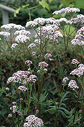Common Valerian (Valeriana officinalis) at Plants Unlimited