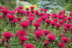 Raspberry Wine Beebalm (Monarda 'Raspberry Wine') at Plants Unlimited