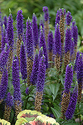 Royal Candles Speedwell (Veronica spicata 'Royal Candles') at Plants Unlimited