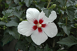 Lil' Kim® Rose of Sharon (Hibiscus syriacus 'Antong Two') at Plants Unlimited
