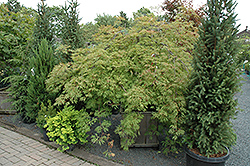Green Cascade Maple (Acer japonicum 'Green Cascade') at Plants Unlimited