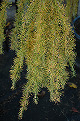 Varied Directions Larch (Larix decidua 'Varied Directions') at Plants Unlimited