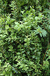 Graham Blandy Boxwood (Buxus sempervirens 'Graham Blandy') at Plants Unlimited