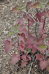 Catnip (Nepeta cataria) at Plants Unlimited