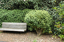 Common Boxwood (Buxus sempervirens) at Plants Unlimited