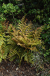 Autumn Fern (Dryopteris erythrosora) at Plants Unlimited