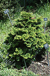 Tempelhof Falsecypress (Chamaecyparis obtusa 'Tempelhof') at Plants Unlimited