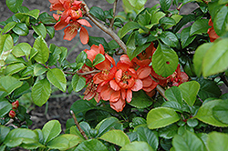 Orange Beauty Flowering Quince (Chaenomeles japonica 'Orange Beauty') at Plants Unlimited