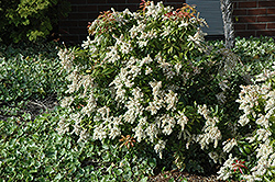 Japanese Pieris (Pieris japonica) at Plants Unlimited