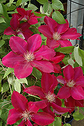 Rebecca Clematis (Clematis 'Rebecca') at Plants Unlimited