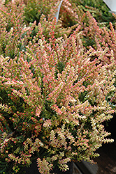 Spring Torch Heather (Calluna vulgaris 'Spring Torch') at Plants Unlimited