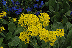 Basket Of Gold Alyssum (Aurinia saxatilis) at Plants Unlimited