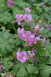 Cambridge Cranesbill (Geranium x cantabrigiense 'Cambridge') at Plants Unlimited
