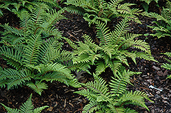 Japanese Tassel Fern (Polystichum polyblepharum) at Plants Unlimited