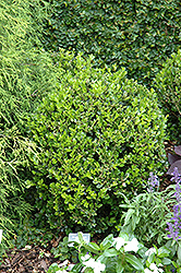 Winter Gem Boxwood (Buxus microphylla 'Winter Gem') at Plants Unlimited