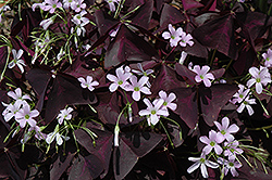 Purple Shamrock (Oxalis regnellii 'Triangularis') at Plants Unlimited