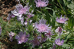 Blue Danube Aster (Stokesia laevis 'Blue Danube') at Plants Unlimited