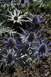 Big Blue Sea Holly (Eryngium 'Big Blue') at Plants Unlimited