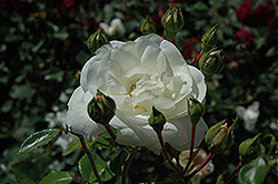 White Dawn Rose (Rosa 'White Dawn') at Plants Unlimited