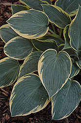 First Frost Hosta (Hosta 'First Frost') at Plants Unlimited
