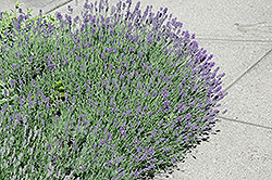 Munstead Lavender (Lavandula angustifolia 'Munstead') at Plants Unlimited