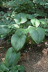 Niagara Falls Hosta (Hosta 'Niagara Falls') at Plants Unlimited