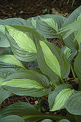 Kiwi Full Monty Hosta (Hosta 'Kiwi Full Monty') at Plants Unlimited