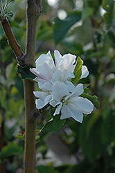 Whitney Flowering Crab (Malus 'Whitney') at Plants Unlimited