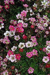 Purple Robe Saxifrage (Saxifraga x arendsii 'Purple Robe') at Plants Unlimited