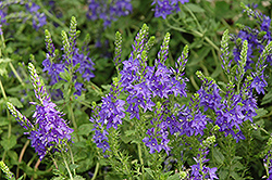 Crater Lake Blue Speedwell (Veronica austriaca 'Crater Lake Blue') at Plants Unlimited