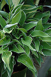 Allan P. McConnell Hosta (Hosta 'Allan P. McConnell') at Plants Unlimited