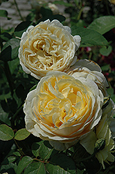 Charlotte Rose (Rosa 'Charlotte') at Plants Unlimited