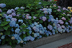 Nikko Blue Hydrangea (Hydrangea macrophylla 'Nikko Blue') at Plants Unlimited