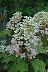 Alice Hydrangea (Hydrangea quercifolia 'Alice') at Plants Unlimited