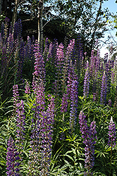 Wild Lupine (Lupinus perennis) at Plants Unlimited