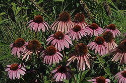 Purple Coneflower (Echinacea purpurea) at Plants Unlimited