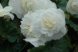 Nonstop® White Begonia (Begonia 'Nonstop White') at Plants Unlimited