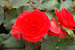 Solenia® Red Begonia (Begonia 'Solenia Red') at Plants Unlimited